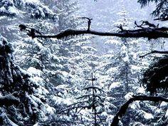 Photo I took in the woods at the resavour *Winter Wonderland* -Traci Marsh Kodiak Island, Winter Wonderland, Alaska, Woods, Snow, Outdoor, Outdoors, Woodland Forest, Forests