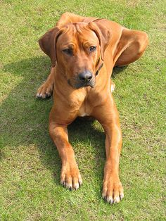 Rhodesian Ridgeback--the perfect family dog. Bred in South Africa as lion hunters, ridgebacks are loyal, friendly and intelligent, famous for protecting their owners/families.