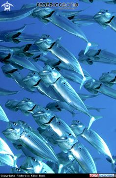 Scholl of Indian mackerel (Rastrelliger kanagurta) in Marsa Alam - Egypt - Red Sea