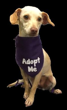 01/03/16 SL~~~12/07/15 SL~~~Meet Honey, a Petfinder adoptable Chihuahua Dog | Lake Jackson, TX | Honey is a perfect name for this little lady -- she's as sweet as can be. Honey is a chiweenie who...