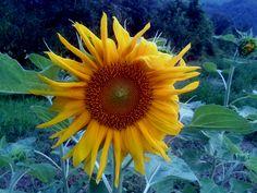 Bolognashire: il girasole al tramonto