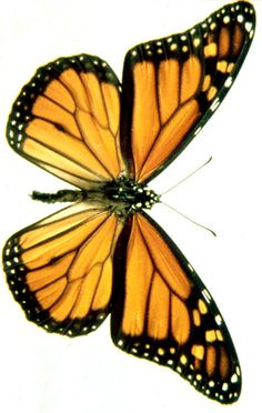 The monarch butterfly (Danaus plexippus) is a milkweed butterfly (subfamily… - Schmetterling Butterfly Illustration, Butterfly Drawing, Butterfly Painting, Butterfly Wallpaper, Monarch Butterfly, Butterfly Wings, Butterfly Symbolism, Butterfly Outline, Butterfly Project