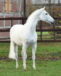 Colman (Carthago x Rosenquarz) Holsteiner Stallion Cute Horses, Pretty Horses, Horse Love, Most Beautiful Animals, Beautiful Horses, Warmblood Horses, Majestic Horse, Equine Photography, Nature Photography