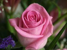 pink roses mean gentleness, sympathy, and grace