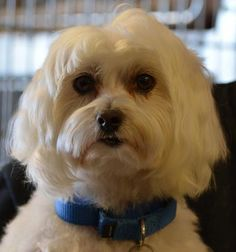 Petango.com – Meet Legend, a 5 years 3 months Maltese available for adoption in COLORADO SPRINGS, CO. Call (719) 495-7679 to speak to an adoption representative at National Mill Dog Rescue.