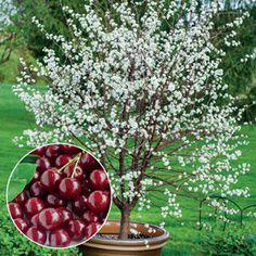 Romeo Bush Cherry. Full sun. 6-8ft tall. Zones: 2-6. Self pollinating. Produces excellent cherries.