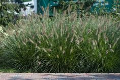"Szkółka Bylin ""Dobrepole"" (Pennisetum alopecuroides ""Hameln"" - rozplenica japońska)"