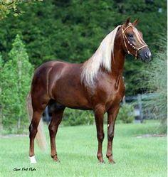 """""""Picaflor de la Sierra"""" - Paso Fino stallion"""