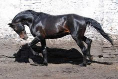 Horses for sale - Russian Trotter Horse - prodan