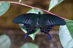 The Sublime Swallowtail Butterfly  Chinese Peacock species   By Miss Cellania