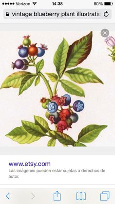 High Bush Blueberry Botanical Fruit Flowers Art Print Vintage Wildflowers To Frame 137 Vintage Botanical Prints, Vintage Prints, Fruit Flowers, Wild Flowers, Nc Tattoo, Tattoos, Blueberry Bushes, Love Natural, Food Drawing