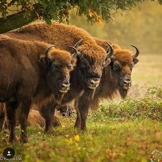 Wauwie! Voel jij je ook zo aangekeken? foto door: @gottalove_a_  en @regina_pas_fotografie #hierhoudenwevan #uden #maashorst #bison #animals #brabant #visitbrabant #netherlands #natuur #dier #dieren #animal #photography #photo