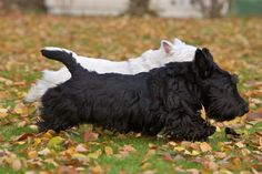 ♥ Two Scottish Terriers. ♥ (My Mom always loved these dogs, especially where there was a black and white pair together.) ♥