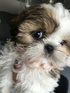 """Check out our internet site for additional information on """"shih Tzu dogs"""". It is an excellent area to learn more. Cute Little Puppies, Cute Dogs And Puppies, Baby Puppies, Doggies, Perro Shih Tzu, Shih Tzu Puppy, Shitzu Puppies, Teacup Puppies, Shih Tzus"""