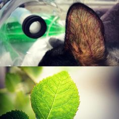 The capillary structure of this cats ear looks similar to that of a leaf