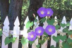 morning glory on a white picket fence Morning Glory Vine, Morning Glories, Purple Flowers, Beautiful Flowers, Avocado Tree, My Flower, Flower Vines, Backyard Landscaping, Backyard Ideas