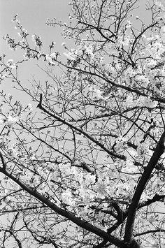 桜 (Sakura)