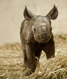 Baby rhinos are so ugly, they actually end up being cute.