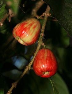 Syzygium malaccense - Mountain Apple, Malaysian Apple, 'Ohi'a 'Ai, Rose Apple, Malay Apple, Pomerac, Otaheite-apple (fruit)