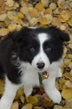 Allie in the autumn - adorable Border Collie puppy!