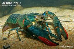 Image result for australian freshwater crayfish species