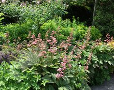 """Rodgersia pinnata 'Superba'. Astilbe-like, moist shade. Foliage in shades of bronze, red, green, deep purple. Try """"Perthshire Bronze"""" ( Gardens Illustrated)."""