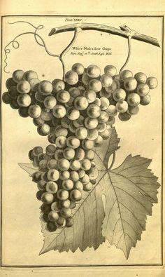 illustration botanique noir et blanc : gravure fruits, grappe de raisin