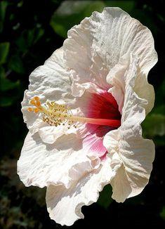 Pretty, ruffled, White hibiscus, by Kaye Menner - Pixdaus Hibiscus Plant, White Hibiscus, Hibiscus Flowers, All Flowers, Exotic Flowers, Tropical Flowers, My Flower, Beautiful Flowers, Hibiscus Garden