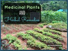 Medicinal Plants and Herbal Remedies : This list of medicinal plants and the herbal remedies I make with them help me avoid costly medical bills and keep my family healthy in natural ways.