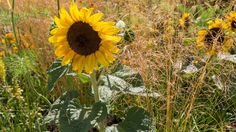 Sunflowers in The Perennial Sanctuary Garden at RHS Hampton Court Palace 2017 Hampton Court Flower Show, Rhs Hampton Court, Annual Flowers, Chelsea Flower Show, Sunflowers, Worlds Largest, Perennials, Palace, Garden Design