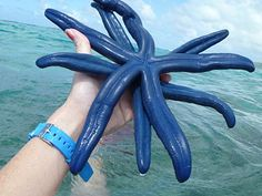 BLUE starfish in Guam! I caught one of these one day at the beach in Tumon...