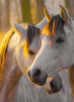 Die Verbindung zwischen diesen beiden Pferden kann man fast schon spüren. Romantisch im Sonnenuntergang suchen sie die Nähe zueinander. #APASSIONATA