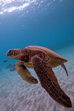 Sea turtle: Show me the flipper (by bluewavechris) Beautiful Creatures, Animals Beautiful, Cute Animals, Fauna Marina, Turtle Love, Ocean Creatures, Reptiles And Amphibians, Tortoises, Sea And Ocean