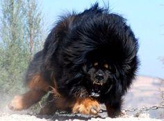 Tibetan Mastiff, looks like a black lion
