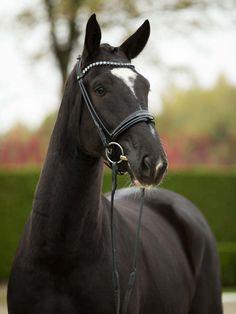 Oldenburg, Horses, Animals, Animales, Animaux, Animal, Animais, Horse