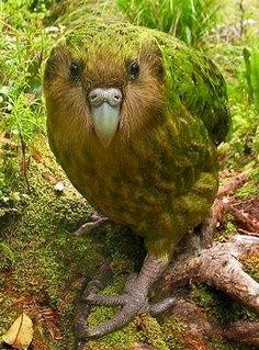 Kakapo Parrot - from New Zealand