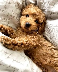 What Does Hypoallergenic Dog Mean - Poodles Super Cute Puppies, Cute Baby Dogs, Cute Dogs And Puppies, Cute Baby Animals, Pet Dogs, Adorable Puppies, Small Puppies, Doggies, Cocker Poodle