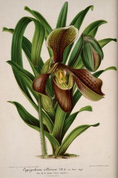 v.4 (1857) - L'Illustration horticole : - Biodiversity Heritage Library/Missouri Botanical Garden