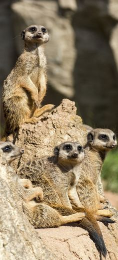 About Wild Animals: Meerkats on the lookout Like Animals, Funny Animals, Wildlife Photography, Animal Photography, Beautiful Creatures, Animals Beautiful, Animal Species, Animal 2, African Animals