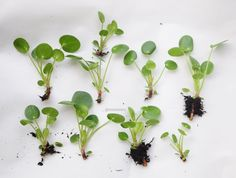 All the cuttings from a single adult Pilea plant.
