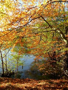 Beech trees in autumn colours overhang Blackroot Pool, Sutton Park, Sutton Coldfield, England