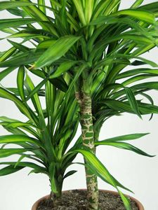 Exceptionnel Find Out How To Grow Dracaena, One Of The Easiest To Grow Houseplants.  Dracaena Is A Common Indoor Plant Youu0027ll Love In Your Home Or Office!