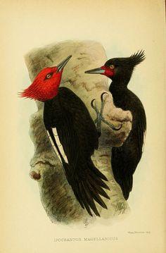 """Ipocrantor Magellanicus, """"The birds of Tierra del Fuego"""", Crawshay, Richard, Crawshay, 1907"""