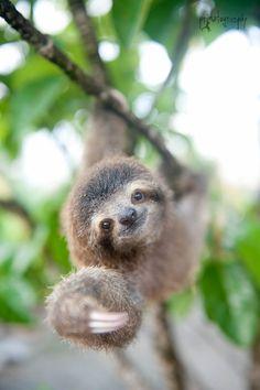 これまでにISUTAではさまざまな動物の赤ちゃんを紹介してきましたが、コスタリカの「ナマケモノ研究所」では、私たちがあまりお目にかかることがないナマケモノの赤ちゃんが暮らしています。 ・つぶらな瞳に胸キュン♡ 見てください! まん丸の瞳と、上を向いたブタ鼻、まだ短い手足に、キレイな毛並み…もう可愛すぎます♡