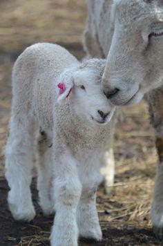 Miriam and Togo at Bear Creek Felting Lamb Pictures, Animal Pictures, Romney Sheep, Animals And Pets, Cute Animals, Baa Baa Black Sheep, Sheep Art, Counting Sheep, Sheep And Lamb