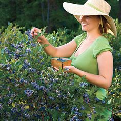 The complete guide to blueberry plants. Find practical gardening advice, tips, and information on growing delicious blueberries. Blueberry Plant, Blueberry Bushes, Vertical Vegetable Gardens, Indoor Vegetable Gardening, Container Gardening, Fruit Garden, Edible Garden, Texas Gardening, Gardens