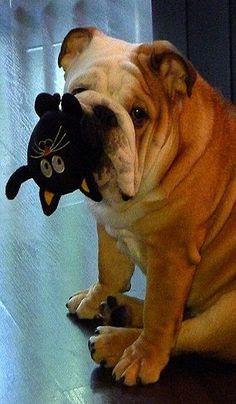 Dog Red Line: 14 Reasons English Bulldogs Are The Worst Indoor Dog Breed Of All … Dog Red Line: 14 motivi per cui i bulldog inglesi sono la peggiore razza di cani indoor di tutti i tempi English Bulldog Puppies, British Bulldog, Cute Puppies, Dogs And Puppies, Baby Animals, Cute Animals, Bullen, Cute Bulldogs, Doge