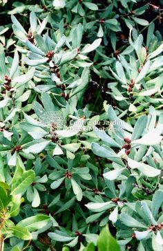 Feuillage vert grisâtre, très dense et aromatique. Plante de naturalisation, pour les rivages. Fleurs sous forme de chatons au printemps, fruits jaunes. Croissance moyenne. Se comporte bien dans un sol pauvre, sablonneux et aussi dans l'argile lourde. Tolère le sel. Taille: Au début du printemps, supprimer les tiges mortes ou tailler après la floraison.