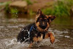 Happy, splashing water puppy!  The German Shepherd Dog Community