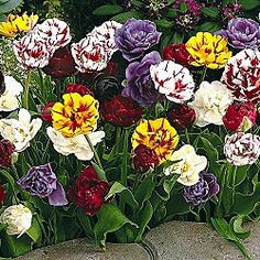 peony-flowering-tulip-mixture